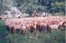 Image of Sheep and Goat Development 1