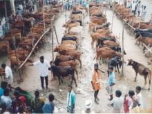 Image of Shows / Rallies - Cattle 1