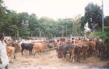 Image of Shows / Rallies - Cattle 2
