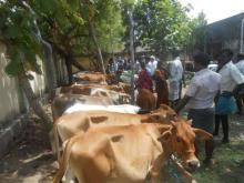 Image of Shows / Rallies - Cattle 6